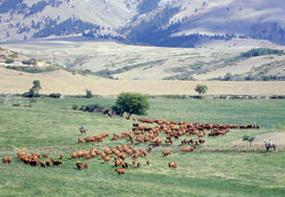 Vientres de Beckton Farm en Wyoming
