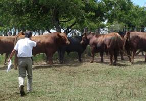 Seleccionando toros en los corrales de encierre