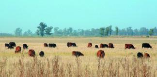 Vacas en campos naturales