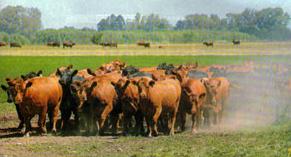 """Un lote de vacas adultas con los mejores índices en las mediciones del Breedplan Angus Argentino. El trabajo en la cabaña se orientó a """"volver"""" a las características del angus escocés, que se destaca por la facilidad de parto y de mantenimiento, y por la calidad de la res."""